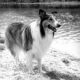 Hollywood Dog Report: Lassie