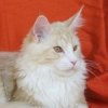 Maine Coon, Maine Cat, Maine Shag - der sanfte Riese
