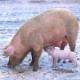 Mann verging sich in Stall an Schweinen - Schockierender Fall von Zoophilie