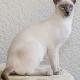 Siamkatzen - Haustiere des Königshauses