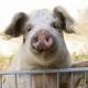 Lebendig im Schnee begraben: Proteststurm nach Lawinenversuchen an Schweinen in Tirol