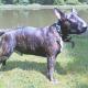 Wiener Tierärztekammer gegen Kategorisierung bestimmter Hunderassen - FPÖ Wien fordert Führschein für alle Rassen