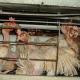 VIER PFOTEN deckt illegale Hühnerbatterie auf: Ekelerregende Zustände in Wiener Neustadt