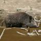 Wehe, wenn die Wildsau kommt: Ruhe bewahren und auf Distanz gehen
