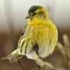 Vogelsterben durch Salmonellen im Raum Vorarlberg - Bayern weitet sich aus