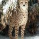 Tierwelt Herberstein: Geparde brachen auf Eis ein