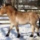 Artenschutz: Nachzucht von Przewalski Pferden