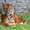 Elf Tiger in chinesischem Tierpark verhungert