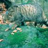 Artenschutz: Aktionsplan soll Wildkatze in Österreich wieder heimisch machen