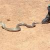 Entwichene Kobra aus Mühlheim ist tot - 100.000 Euro Schaden
