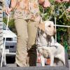 Blindenführhunde - mehr als nur Hunde