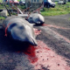 Grindadráp - Jagd auf Grindwale auf den Färöer Inseln