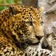 Zirkus-Leopard beißt Dompteur-Tochter