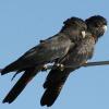 Kakadu muss bei Gericht