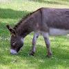 Tierquälerische Werbeaktion: Esel mit Fallschirm in die Luft gezogen