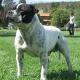 Heftige Expertenkritik zur Einführung des Hundeführscheins für Kampfhunde in Wien