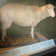 Europäisches Parlament erneut klar gegen das Klonen von Tieren