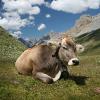 Hund machte Weidevieh aggressiv: Wienerin auf der Alm von Kühen attackiert