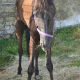 Besitzer ließen Pferd fast verhungern - Stute hatte 50 Zentimeter lange Hufe