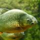 Piranha 3D an der Drau: Angler hatte Exoten an der Leine