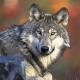 Alp Grön: Wolf wieder im Kanton Luzern