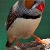 Singen, Schnattern, Trillern: So unterhalten sich Zebrafinken