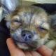 Chihuahua: Juckreiz und Verlust der Unterwolle (380)