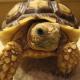 Griechische Landschildkröte mit Augenproblemen (882)