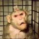 Das grausame Geschäft mit Affen