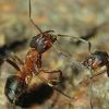 Insekt des Jahres 2011: Die Große Kerb-Ameise