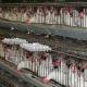 Dioxin Skandal in Deutschland: 1000 landwirtschaftliche Betriebe gesperrt