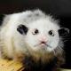 Experten sagen: Opossum Heidi hat Zeug zum Werbestar
