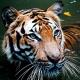 Künstliches Hüftgelenk für Tigerdame