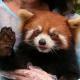 Verbot von Tierdressuren in chinesischen Zoos tritt in Kraft