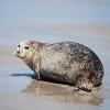 Seehund flüchtet aus Londons Zoo an die spanische Küste