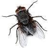 Das Liebeslied der Fliege