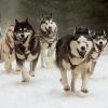 Über 50 Schlittenhunde abgeschlachtet - Urteil: Bewährungstrafe!