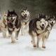 Zuwenig Touristen: 100 Schlittenhunde abgeschlachtet!