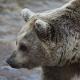 Bärenmörder von Roznik aus der Jägerschaft ausgeschlossen