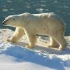 Eisbärenhaltung in Zoos immer stärker unter Kritik