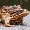 Italiener stehlen Frösche aus Kärntens Amphibienschutzanlagen um sie an Restaurants zu verkaufen