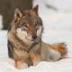 Wolfsattacke: Hund verschleppt, Familie angegriffen