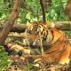 Greenpeace-Video zeigt Todeskampf eines der letzten Sumatra-Tiger