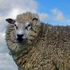 Tierquäler schleifen Schaf hinter Auto her: Haftstrafe