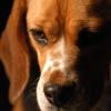 Nach Autounfall: Schäferhund rettet Beagle durch Blutspende