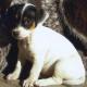 Dreiste Diebe klauen Jack Russel Terrier Welpen