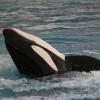 Anstatt in Freiheit: Gestrandeter Killerwal in umstrittenen Vergnügungspark überführt