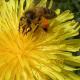 Rekordernte bei Honig - Keine systemischen Schäden der Bienenvölker durch Maisbeizung