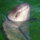 Erkundung von Erdöl- und Erdgaslagerstätten in der deutschen Ostsee bedroht letzte Schweinswale