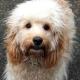 Designerhunde voll im Trend: Labradoodle, Puggle & Cockapoo